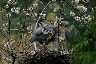 Heron nesting amid the cherry blossoms