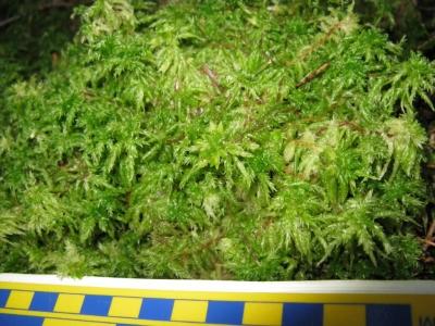 Fairy Fen--Sphagnum moss