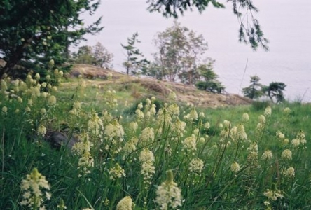 Death Camas at the Cape