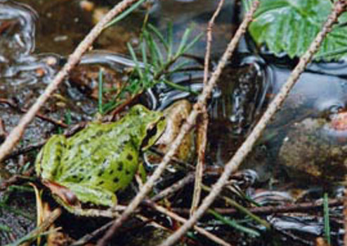 A Bowen frog at the Cape