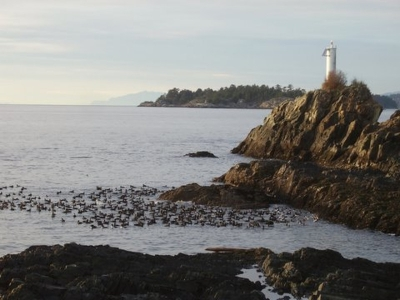 Scoter ducks at the Cape lighthouse