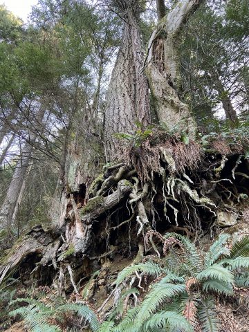 Roots exposed in Singing Woods Nature Reserve