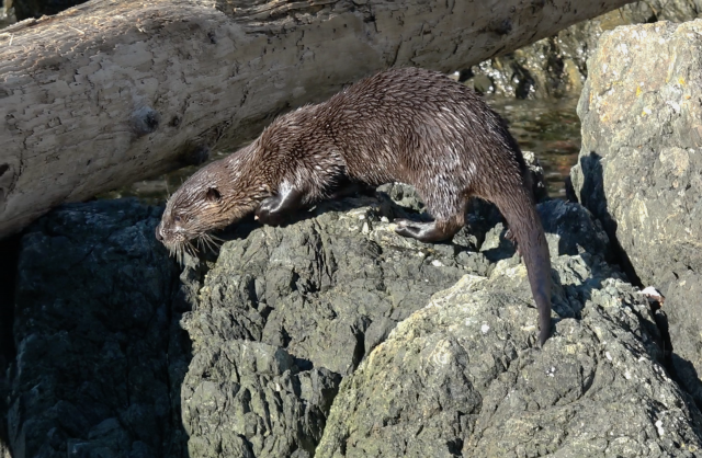 An otter at Cape Roger Curtis