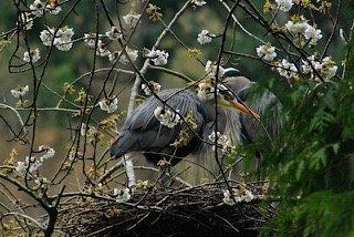 A heron nesting